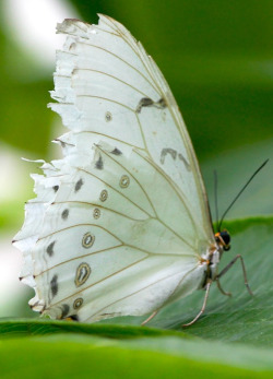 nectartree:  White Butterfly by