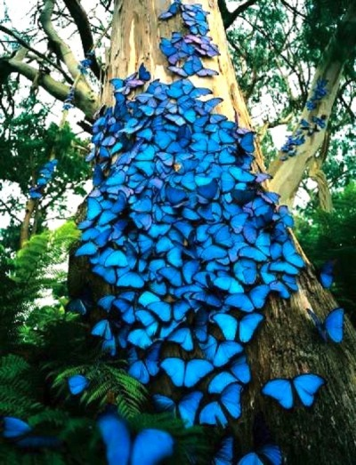 f-l-e-u-r-d-e-l-y-s:  Blue Butterflies on the tree A Morpho butterfly may be one of over 80 species of butterflies in the genus Morpho.They are Neotropicalbutterflies found mostly in South America as well as Mexico and Central America. Morphos range in wingspan from the 7.5 cm (3 inch) M. rhodopteron to the imposing 20 cm (8 inch) Sunset Morpho, M. hecuba.