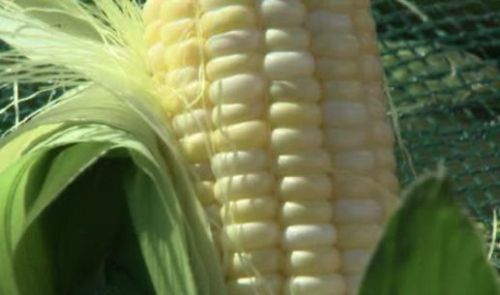 "Across Alberta, Taber corn is well known. However, farmers and distributors are warning customers that a crop of counterfeit corn – being marketed under the Taber name - is being sold. ""For us, it's a little frustrating,"" admits Todd Mitchell, a Taber corn distributor. ""For the farmers in Taber, I imagine it's got to be a huge problem, because they're selling a name that they built."" Mitchell says he's seen counterfeit Taber corn being sold in the Edmonton area for the last six or seven years.  ""They just go to the local grocery store, pick up the corn, and go out and sell it. We've had people steal our signs… all kinds of things to get into the business."" To read more about counterfeit Taber corn, click here."