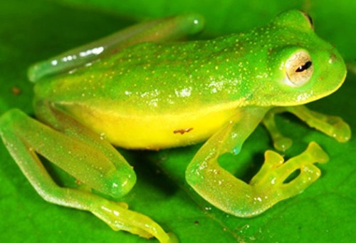A Peruvian Piece of Glass: The 7,000th Amphibian Species… AmphibiaWeb's 7,000th species is a high elevation glass frog from Manu National Park in Amazonian Peru. Called Centrolene sabini (Sabine's Glassfrog), it was collected by Alessandro Catenazzi and his companions when he was a postdoctoral scholar at UC Berkeley. The frog is a small (31.2 millimeters long), delicate animal that calls from trees above the fast-flowing streams in the humid, cool, montane forests of Manu National Park at elevations of around 2,800 m (about 9000 ft). Its coloration in life is green-yellowish, with yellowish patches and spots. Across its back, it is covered with yellowish-green tipped spicules. Its iris is silvery-bronze or cream bearing fine black reticulations. Remarkably, the bones of the animal are green; a feature that is highly unusual, even for amphibians! (though not entirely unique as the Parjacti Treefrog is also known to possess green bones and the Samkos bush frog of Cambodia goes one further by having green blood and blue bones! Like, WTF?!) Eggs are laid on top of leaves above the fast-flowing streams in clutches of 35-45 eggs and the peritoneum of the tadpoles also has a greenish cast.