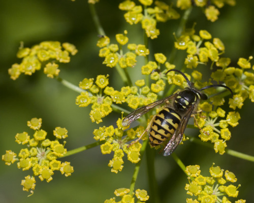 somuchscience:  Yellowjacket pollinating some Lomatium (Apiaceae). Yes, they do more than just sting, bite, and annoy picnickers. Photo by textless
