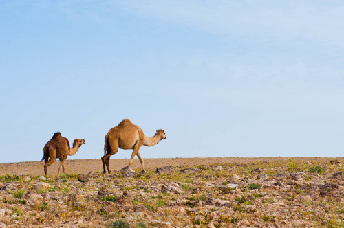 Mother and Son by lev.glick on Flickr. Camels in the Judean desert