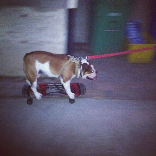 Just hanging out with a bulldog riding on a Duff Beer skateboard tonight… no big deal. (Taken with Instagram)