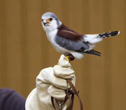 Pygmy Falcon by San Diego Shooter on Flickr.