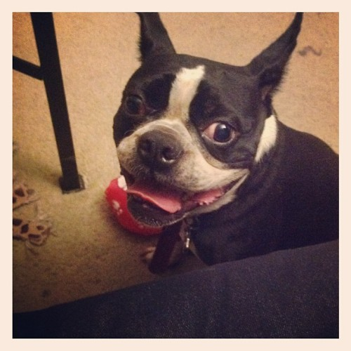 Chloe!! #bostonterrier #mybaby (Taken with Instagram)