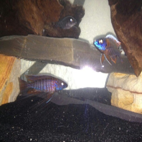 Dragonblood and Hap German/Eureka Red. #mybreed #fishtank #mytank #freshwatertank #fish #fisch #aquatic #thelifeaquatic #freshwater #freshwaterfish #tropical #aquaria #Aquarium #communitytank #instafish #fishhub #fishgeek #growouttank #aquascape #cichlids #waterworld #underwater #dragonblood #hap #haplochromis #germanred #Eurekared #peacock #noeffect  (Taken with Instagram)