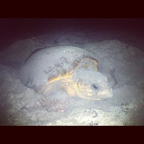 Seriously the coolest thing I've ever experienced. #seaturtle #layingeggs #ocean #beach #awesome (Taken with Instagram)