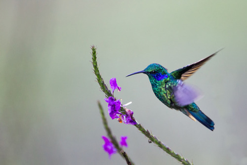 Hummingbird in Flight by Oliver C Wright on Flickr.