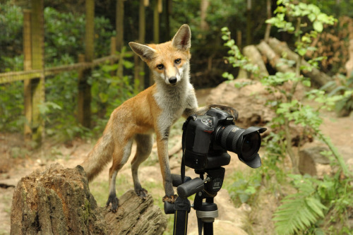 "500px / Photo ""Fox cub photographer"" by Solent @500px.com"
