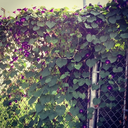 Chain link fence makes for an #urban #trellis. (Taken with Instagram at LES)