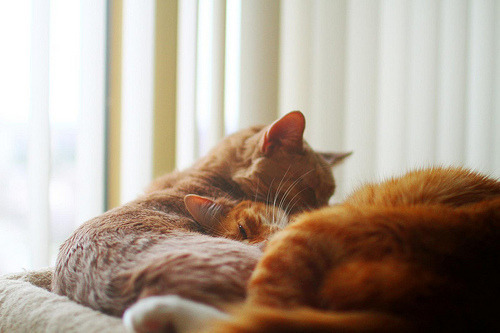 mostardentlove:  Colored Cats on We Heart It.