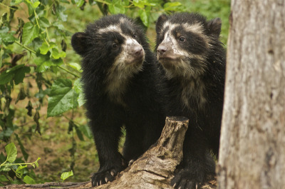 DSC_6862 by ucumari on Flickr.Andean bears