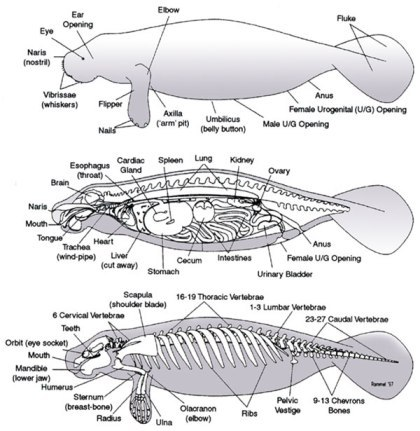 animal-anatomy:  Anatomy of Sirenian from http://www.xavier.edu/manateeresearch/Anatomy-and-Physiology.cfm