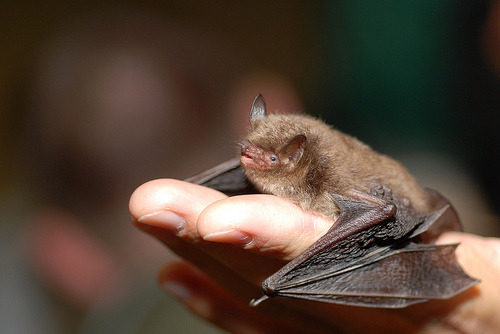 An exciting new tool called iBatsID is set to revolutionise bat identification for conservation efforts throughout Europe, with the ability to classify the calls of 34 species found across the continent. The developers assessed 1350 recordings from the echolocation call library EchoBank, recording the values of 24 different call features from each species. Of the features studied, 12 were identified as being most useful for distinguishing the difference between species, including minimum and maximum frequencies and call duration. With an average species-level classification accuracy of 83.7%, the tool can successfully identify the majority of European bats to species level, with the exception of some members of the Myotis genus that have extremely similar calls and can accurately be classified to subgroup level. iBatsID is freely available for use and will allow standardised acoustic identification for bat research across Europe, the consistency of which will improve the validity of continent-wide monitoring.Ref: Walters C. L. et al., 2012. A continental-scale tool for acoustic identification of European bats. Journal of Applied Ecology [link]