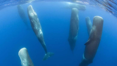 (via This is how sperm whales sleep. Yes, really.)