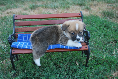 Baby Toby on the bench :) Submitted by meandmycorgi.tumblr.com a mini bench for a mini corgi? and one drummie hanging off? *dies from cuteness overload*