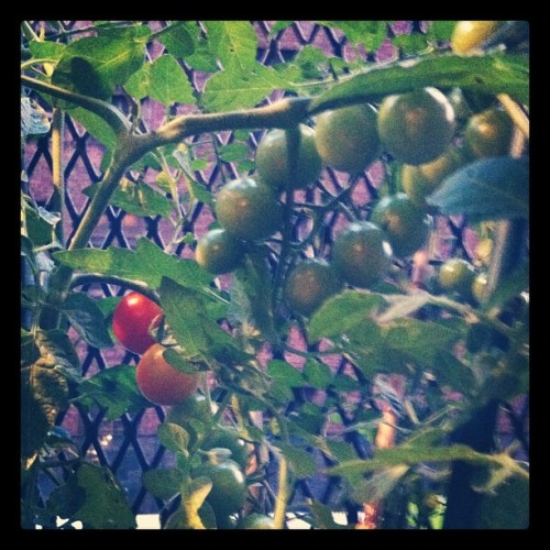 Finally. Some tomatoes.  (Taken with Instagram)