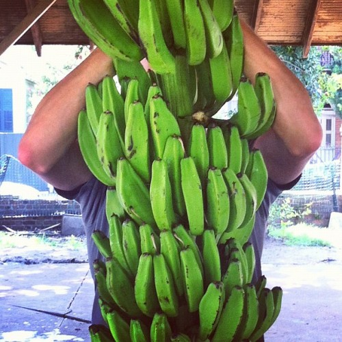 pissant:  Taken with Instagram  Bananas