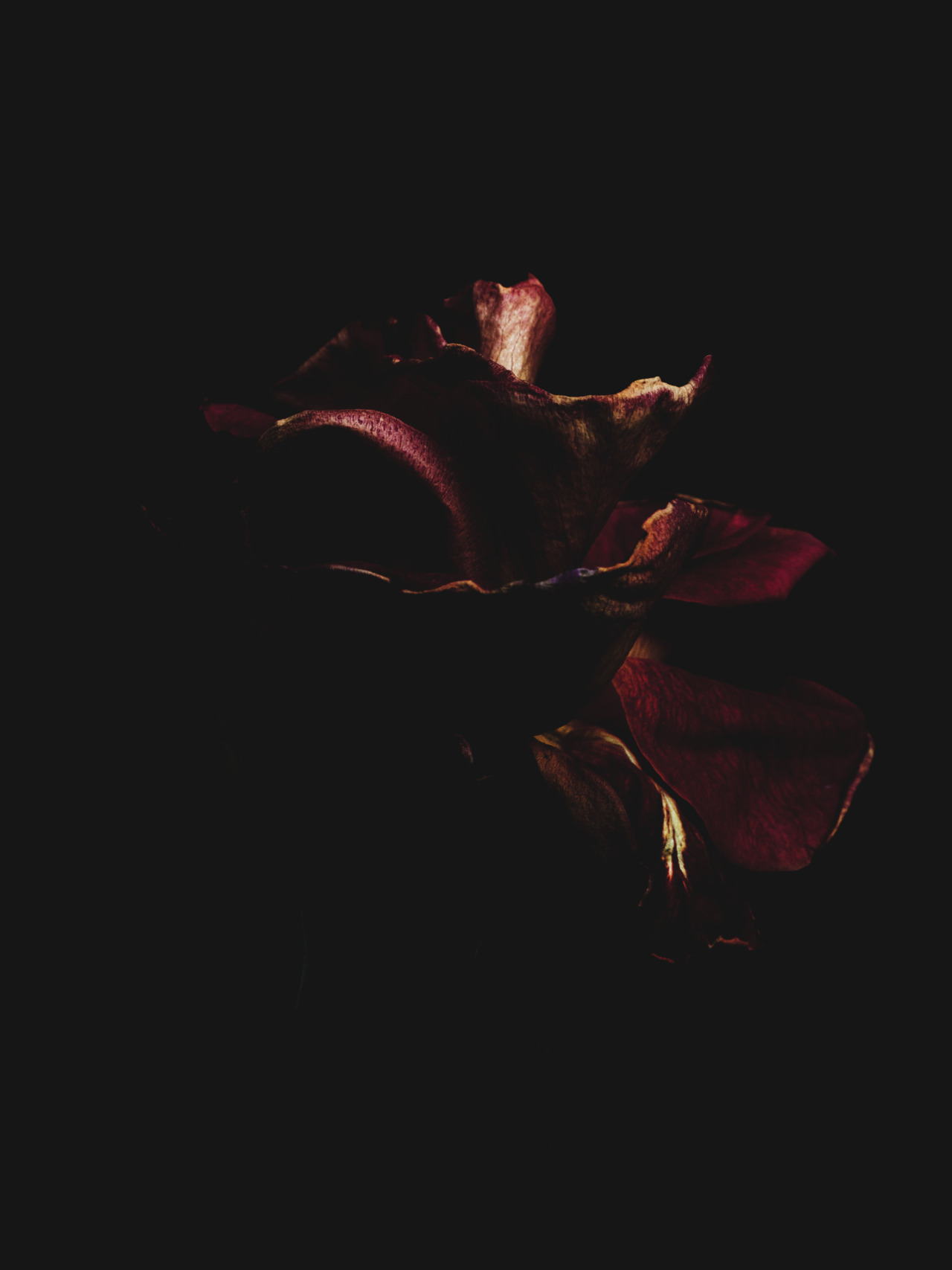 arpeggia:  Billy Kidd - Decaying Roses Follow Billy Kidd on Tumblr.