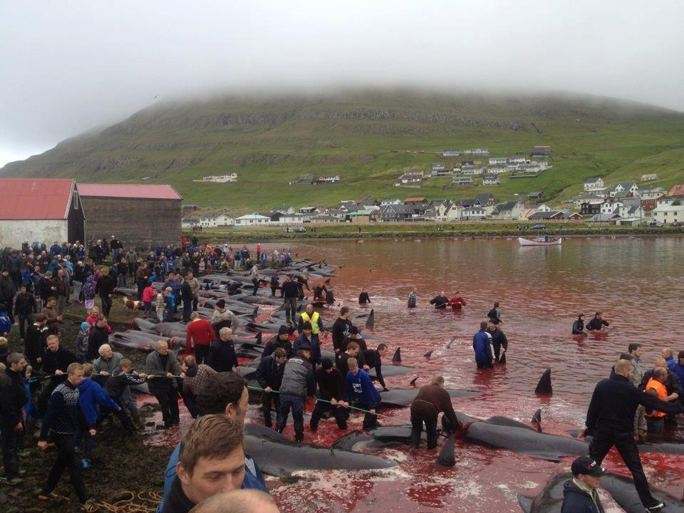 "This photo was taken today by Runi Thomsen in the Faroe Islands located in Denmark during ""The Grind."" This dolphin and whale slaughter takes place every year in the summer and is very similar to the slaughters taking place in Taiji.    Please sign and share this petition to help end this slaughter.You can find out more information on The Grind at SeaSheperd.org"