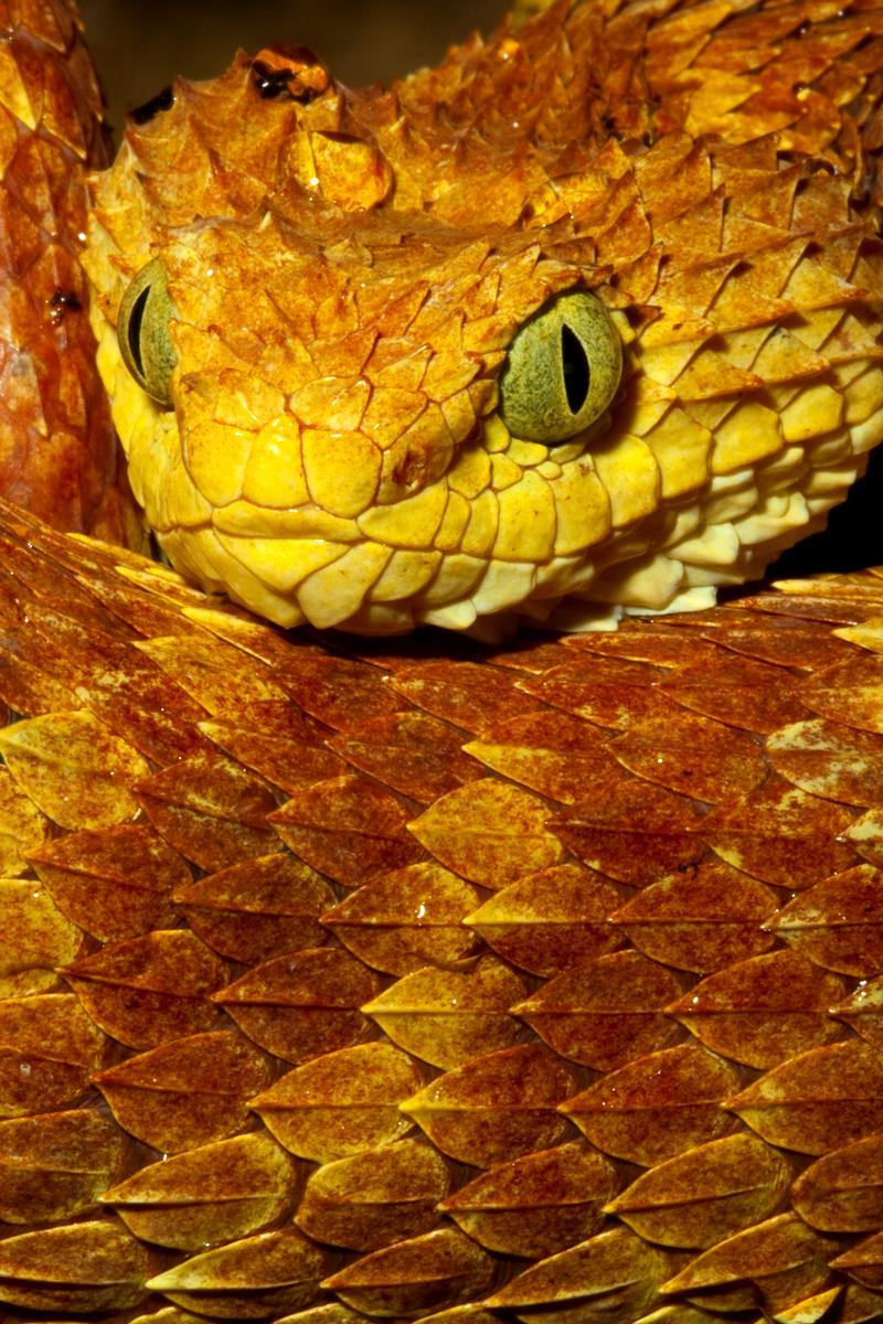 rhamphotheca:  Up close view of an orange color phase Variable Bush Viper (Atheris squamigera) from central/western Africa. Notice the highly keeled rough looking scales that are typical of this genus.