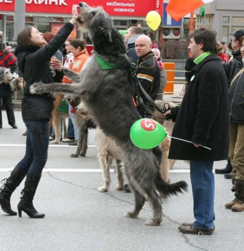 Make: Irish Wolf Hound Notes: An enormous dog!