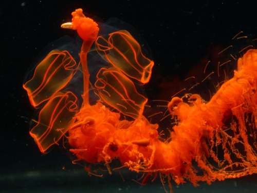 Marrus orthocanna, a deep sea siphonophore. The combined digestive and circulatory system is red; all other parts are transparent.