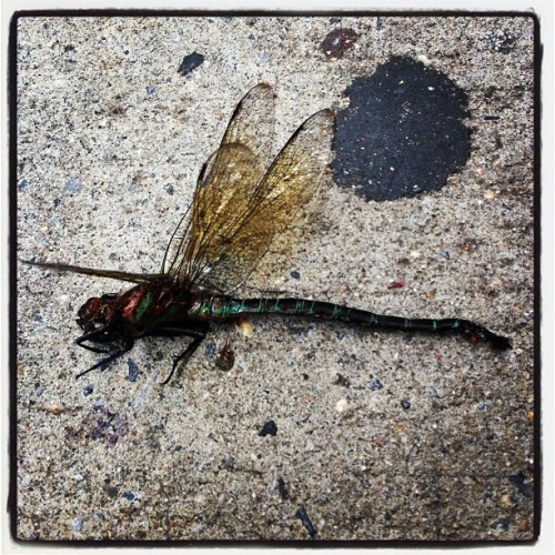 Huge dead dragon fly on 17 st! (Taken with Instagram)