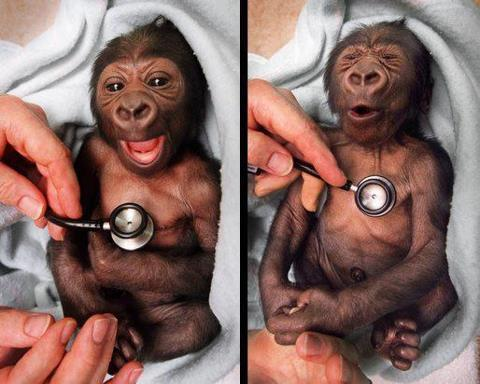 A newborn baby gorilla at Melbourne Zoo gets a checkup at the hospital and shows surprise at the coldness of the stethoscope