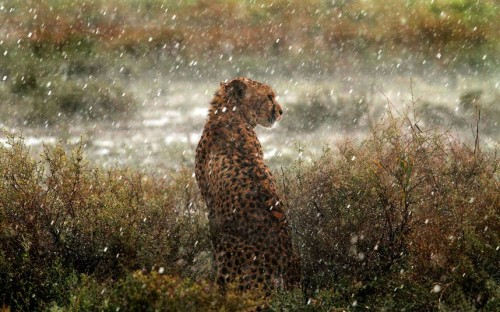 A cheetah is caught in a spot of rain in this picture captured by keen photographer Tiziano Cei while on a safari tour in the Serengeti National Park in Tanzania Picture: TIZIANO CEI / CATERS NEWS (via Pictures of the day: 8 August 2012 - Telegraph)