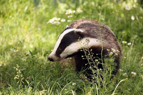 Badger by stproc.