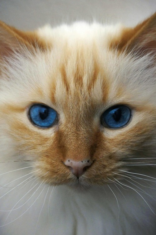 meowmeowkitties:  Blonde hair, blue eyes ;)