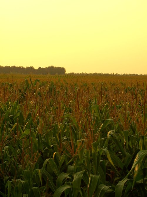 Mid Summer Watched the sun set in a corn field. What'd you do last Saturday? 2012 Olympus E-510 with Zuiko OM 50mm F1.8