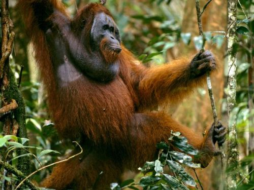 "animal-planet-existence:  ""These long-haired, orangish primates, found only in Sumatra and Borneo, are highly intelligent and are close relatives of humans. Orangutans' arms are well suited to their lifestyle because they spend much of their time (some 90 percent) in the trees of their tropical rain forest home. They even sleep aloft in nests of leafy branches. They use large leaves as umbrellas and shelters to protect themselves from the common rains. These cerebral primates forage for food during daylight hours. Most of their diet consists of fruit and leaves gathered from rain forest trees. They also eat bark, insects and, on rare occasions, meat. Orangutans are more solitary than other apes. Males are loners. As they move through the forest they make plenty of rumbling, howling calls to ensure that they stay out of each other's way. The ""long call"" can be heard 1.2 miles (2 kilometers) away. Mothers and their young, however, share a strong bond. Infants will stay with their mothers for some six or seven years until they develop the skills to survive on their own. Female orangutans give birth only once every eight years—the longest time period of any animal. The animals are long-lived and have survived as long as 60 years in captivity. Because orangutans live in only a few places, and because they are so dependent upon trees, they are particularly susceptible to logging in these areas. Unfortunately, deforestation and other human activities, such as hunting, have placed the orangutan in danger of extinction."" Adult males have large cheek flaps and are significantly bigger than females. These intelligent creatures are able to use basic tools in the wild to get to their meals."