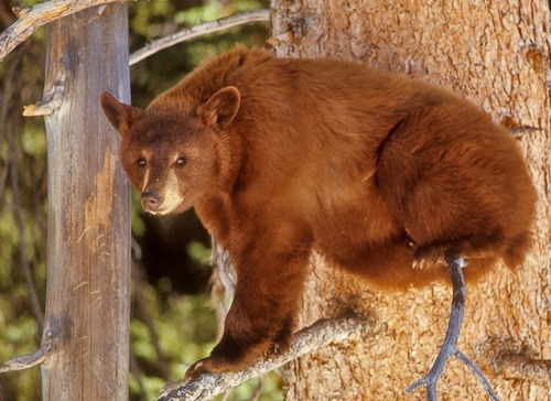 wild-heartedx:  Cinnamon Colored Black Bear (Charlie Summers)