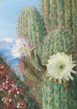 vvastefull:   A Chilean Cactus in Flower and its Leafless Parasite in Fruit by Marianne North   this was part of a photo set okay im sorry but i needed it on my blog