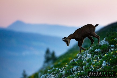 worldlyanimals:  Chamois (David Greyo)
