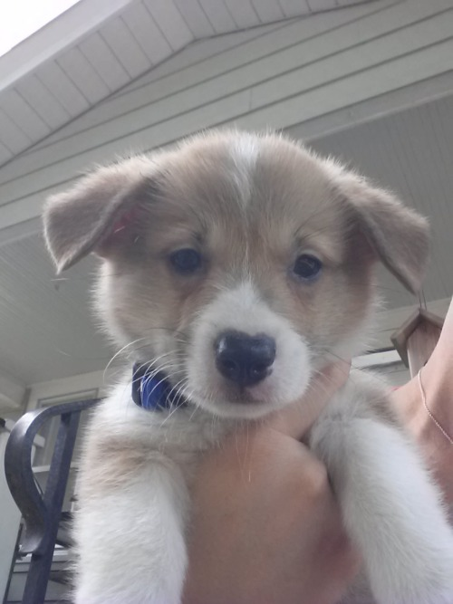 corgiaddict:  Our new lil' man, Thor! Submitted by Paige and RJ Rauso
