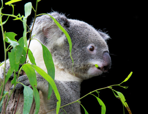 Koala eating eucalyptus leaves | Flickr - Photo Sharing! @flickr.com