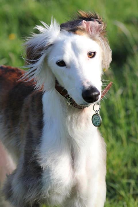 Many do swoon over this Saluki Greyhound Lurcher. He is Sir Jack of Durham. Woof!