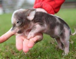 oddandirriplaceable:  SPOTTED PIGLET! SO CUTE