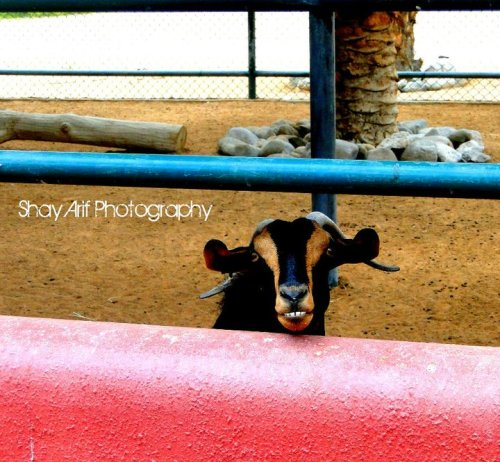 peacelovebeautyfriends:  Taken by Shaymaa Arif   hahaha cute goat!