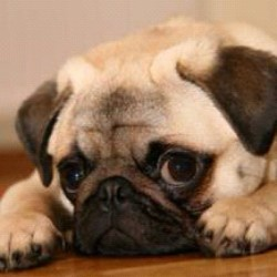 All I want is this little guy…! 🐶 #iwantapug #pooter #socute (Taken with Instagram)