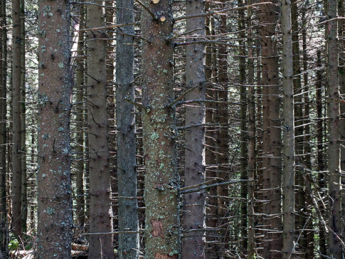 Vertical Pattern - Pine Forest by Horst Kiechle on Flickr.