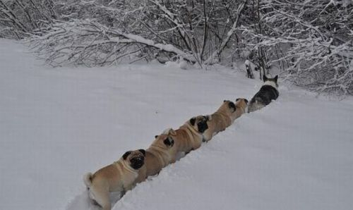 icannotevenwilliamshatner:  A corgi leading a conga line of pugs on an adventure.       I need a pug.