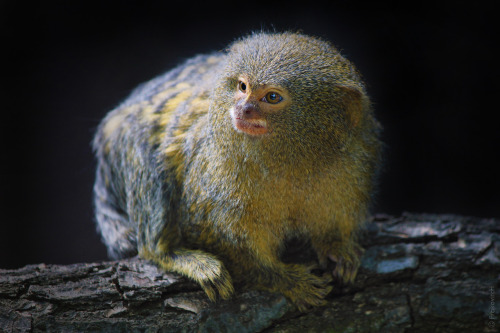 theanimalblog:  Pygmy marmoset (Cebuella pygmaea) (10cm)  photo by Lukas Koscelniak