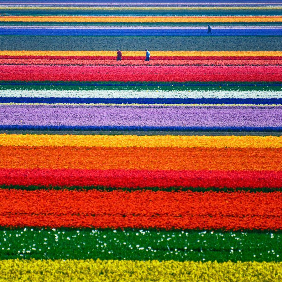 Ttulip fields, North-Holland, Netherlands