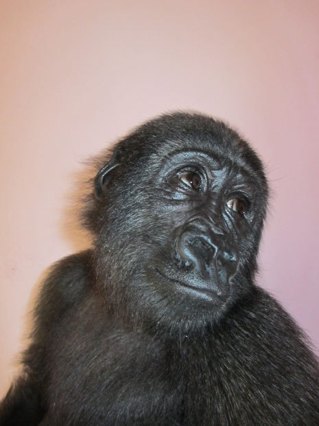 theanimalblog:  Two-year-old female gorilla Afangui is pictured at a sanctuary in Cameroon after being kept illegally to attract tourists to a popular expatriate beach restaurant in Equatorial Guinea Picture: EPA/ZSL