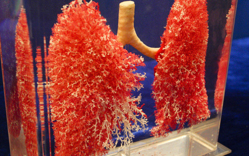 ambrekai:  Vasculature of the human lungs.