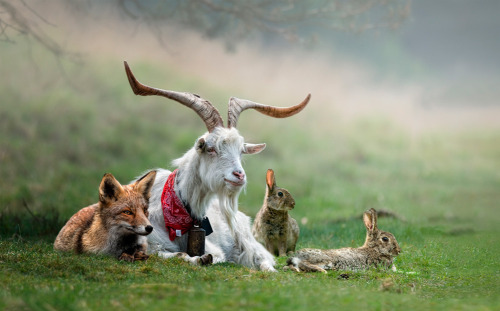 fox, kiko goat, & bunnies